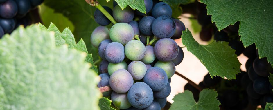 What a lovely bunch of grapes!  Activity in a Cornish vineyard & NEW releases